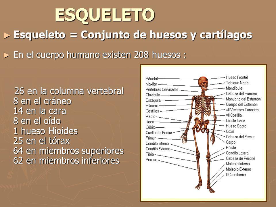 ESQUELETO Esqueleto = Conjunto de huesos y cartílagos