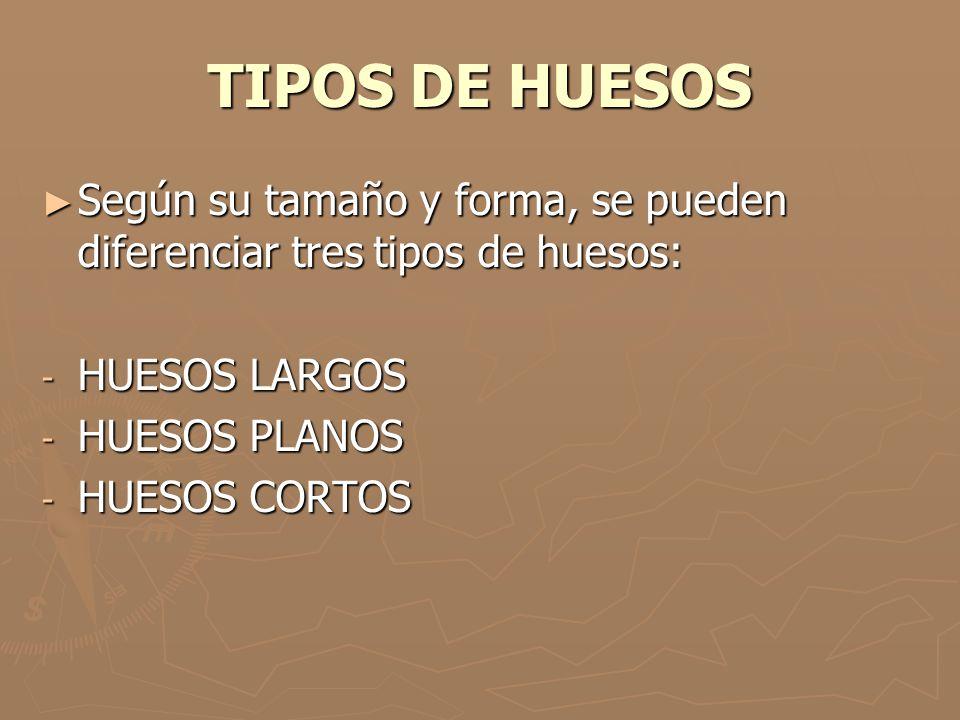 TIPOS DE HUESOS Según su tamaño y forma, se pueden diferenciar tres tipos de huesos: HUESOS LARGOS.