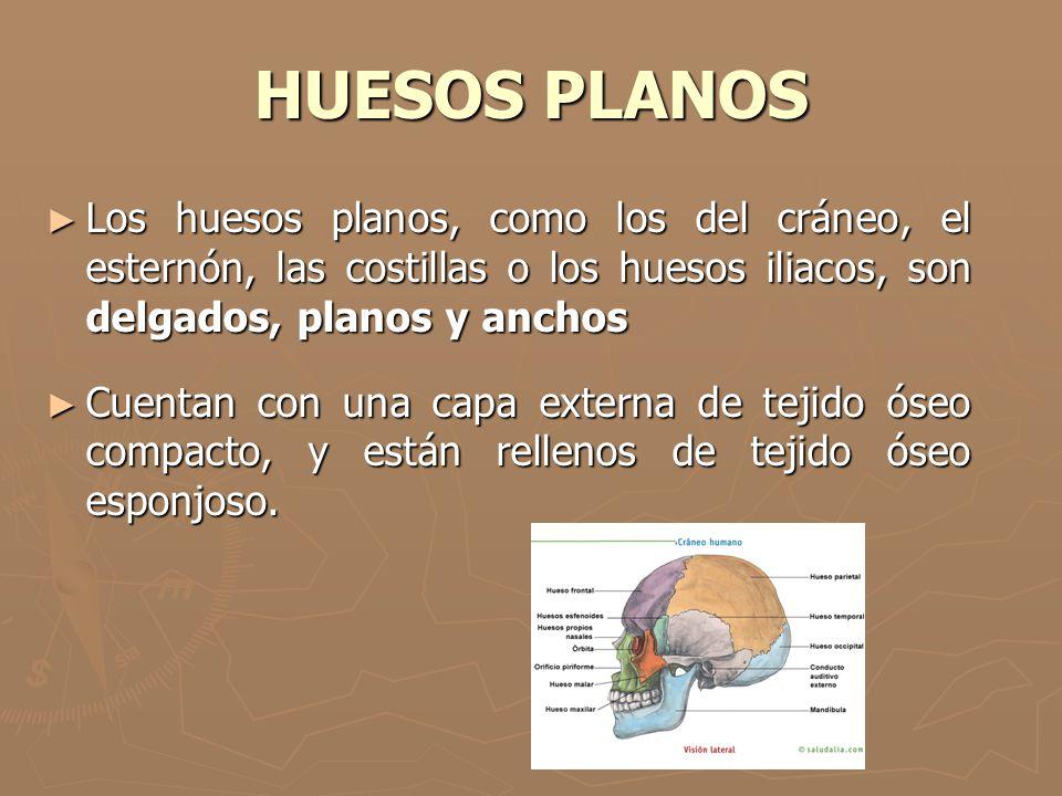 HUESOS PLANOS Los huesos planos, como los del cráneo, el esternón, las costillas o los huesos iliacos, son delgados, planos y anchos.