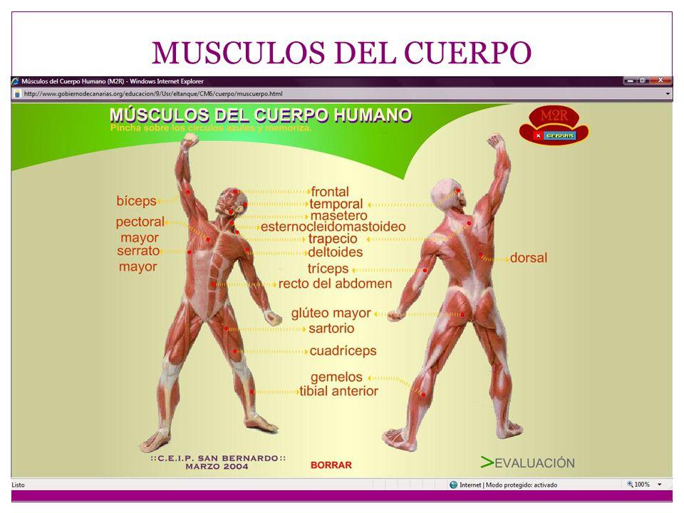 Aparatos y organos del cuerpo humano ppt video online for Medidas ergonomicas del cuerpo humano