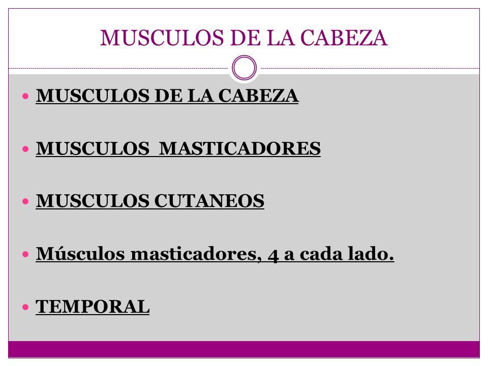 MUSCULOS DE LA CABEZA MUSCULOS DE LA CABEZA MUSCULOS MASTICADORES