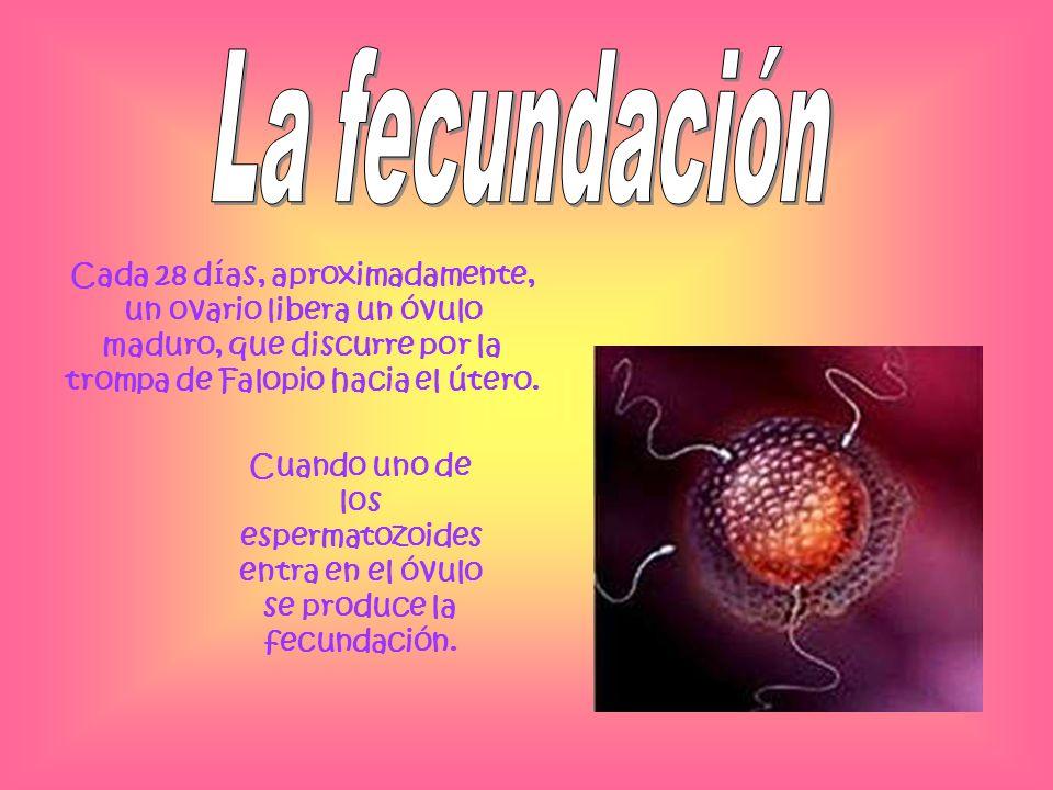 La fecundación Cada 28 días, aproximadamente, un ovario libera un óvulo maduro, que discurre por la trompa de Falopio hacia el útero.