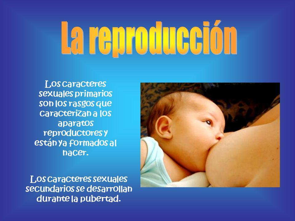 La reproducción Los caracteres sexuales primarios son los rasgos que caracterizan a los aparatos reproductores y están ya formados al nacer.