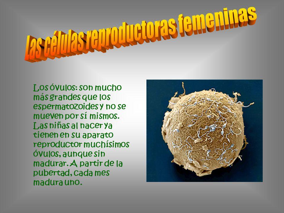 Las células reproductoras femeninas