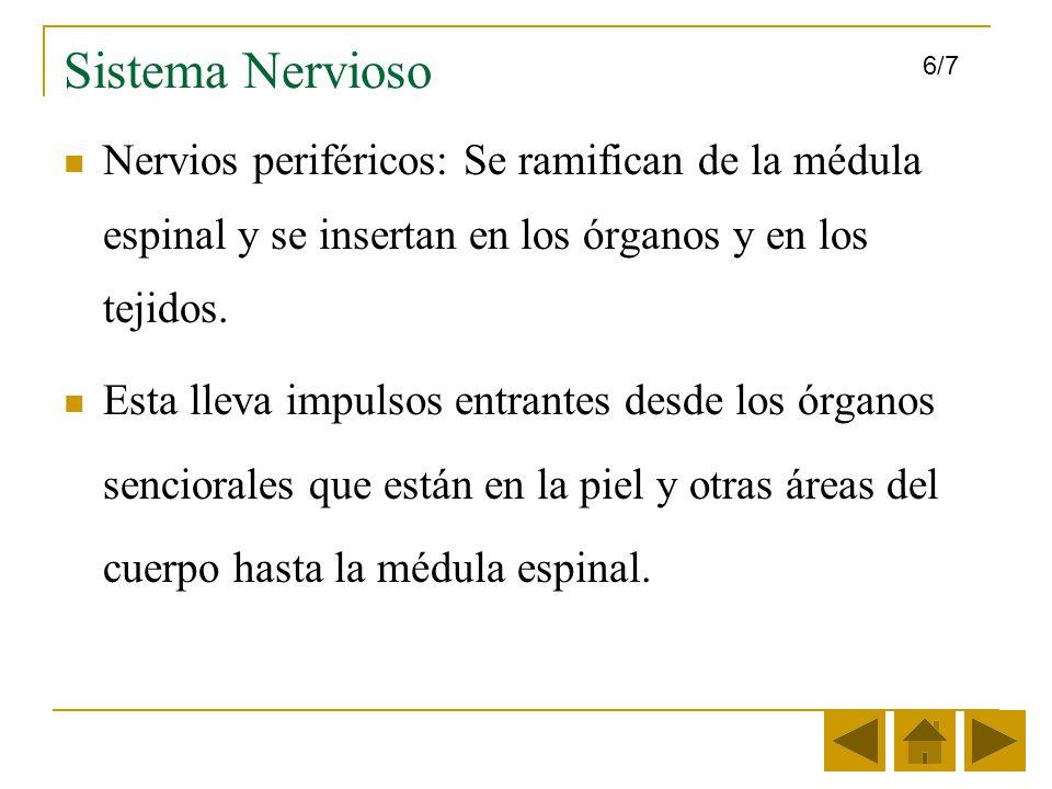 Sistema Nervioso 6/7. Nervios periféricos: Se ramifican de la médula espinal y se insertan en los órganos y en los tejidos.