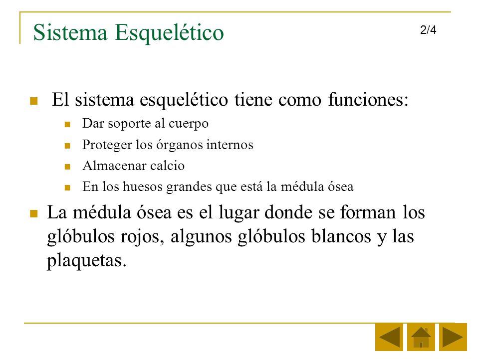 Sistema Esquelético El sistema esquelético tiene como funciones: