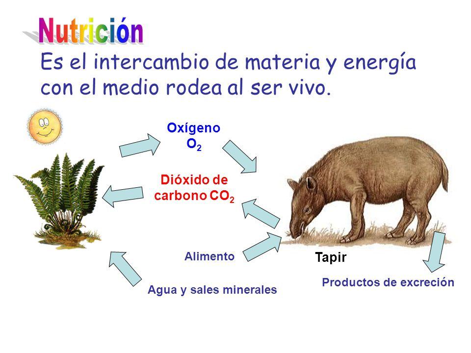 Nutrición Es el intercambio de materia y energía con el medio rodea al ser vivo. Oxígeno O2. Dióxido de carbono CO2.