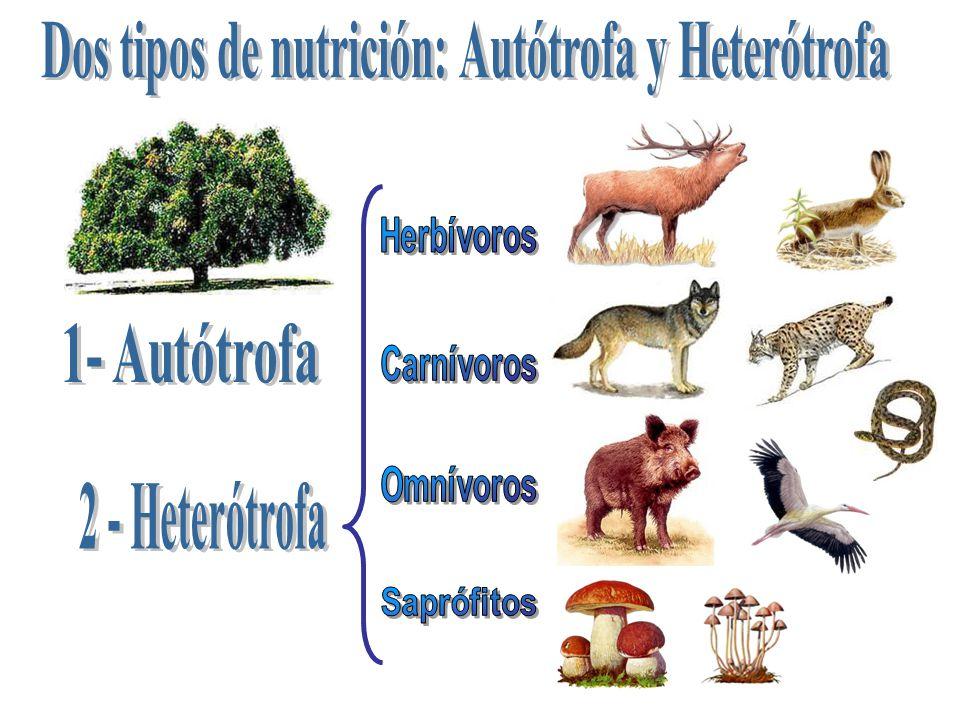 Dos tipos de nutrición: Autótrofa y Heterótrofa