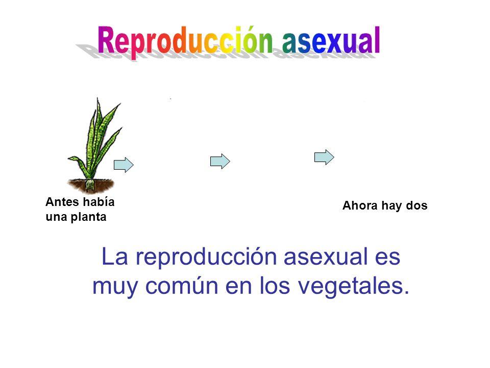 La reproducción asexual es muy común en los vegetales.