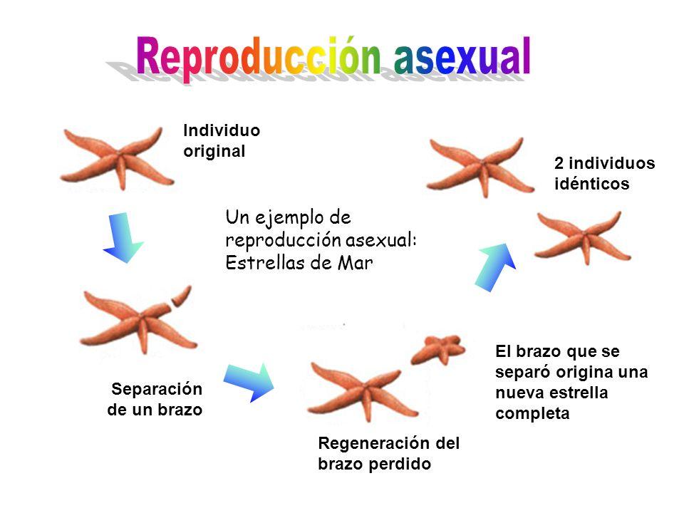 Reproducción asexual Individuo original. 2 individuos idénticos. Un ejemplo de reproducción asexual: Estrellas de Mar.