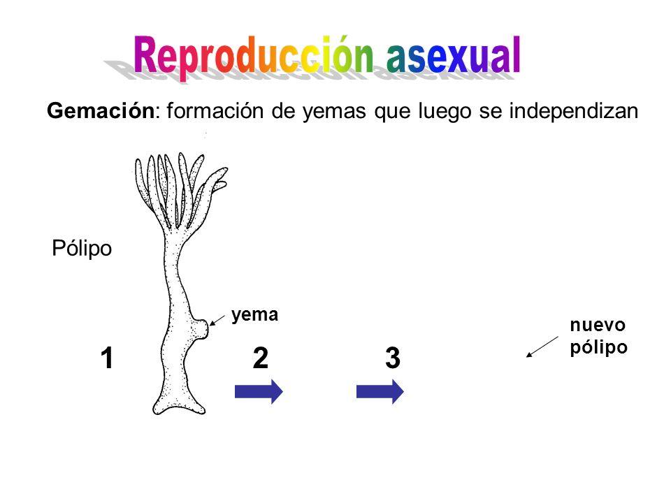 Reproducción asexual Gemación: formación de yemas que luego se independizan. Pólipo. yema. nuevo pólipo.