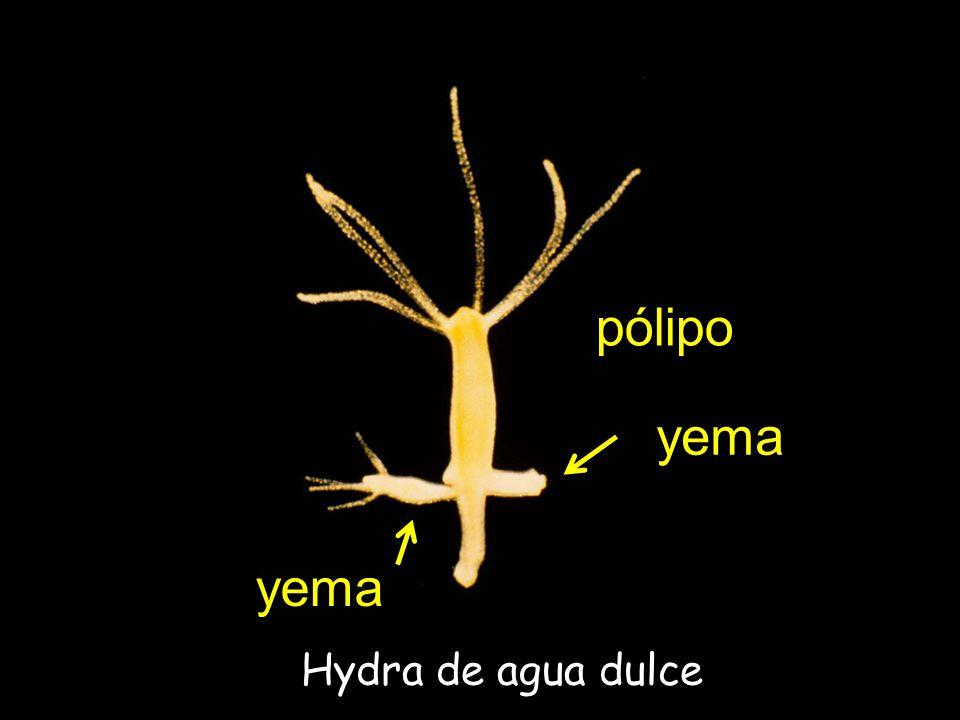 pólipo yema yema Hydra de agua dulce