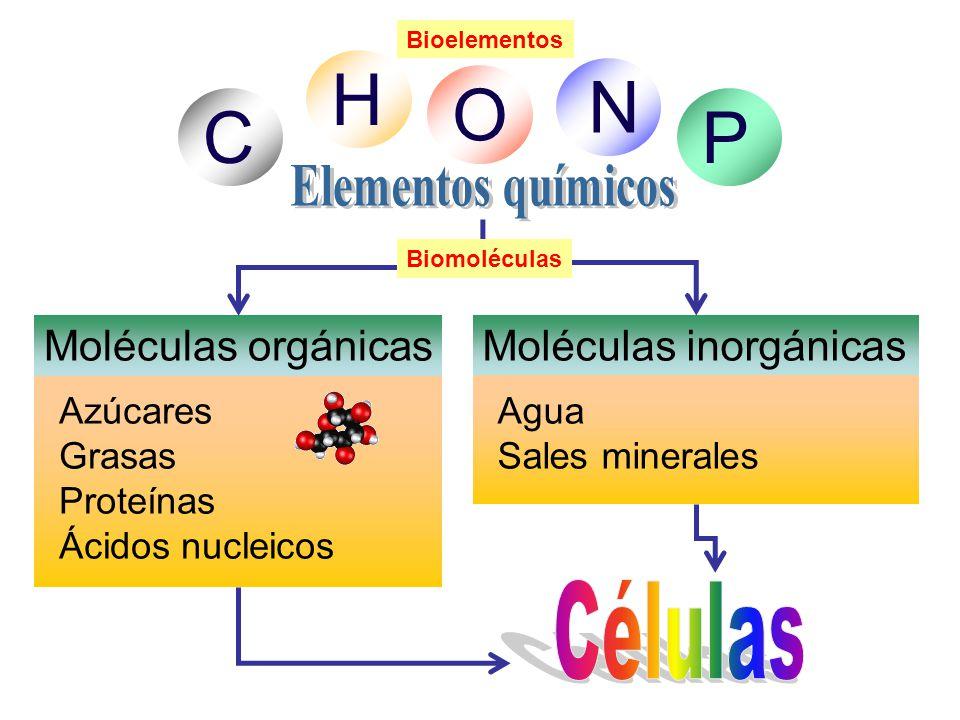 C H O N P Células Elementos químicos Moléculas orgánicas