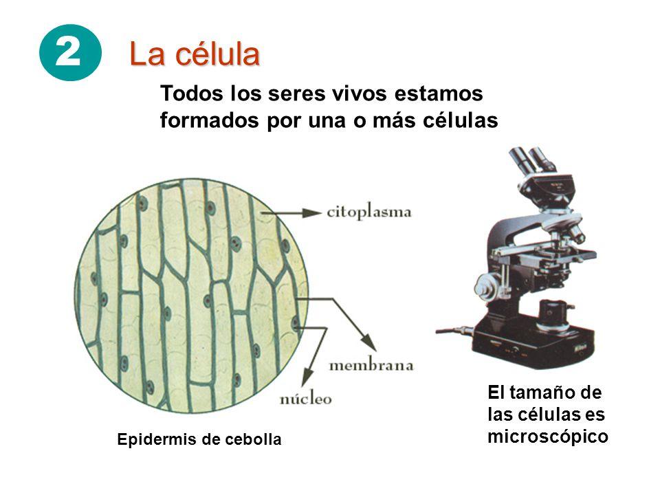 2 La célula. Todos los seres vivos estamos formados por una o más células. El tamaño de las células es microscópico.