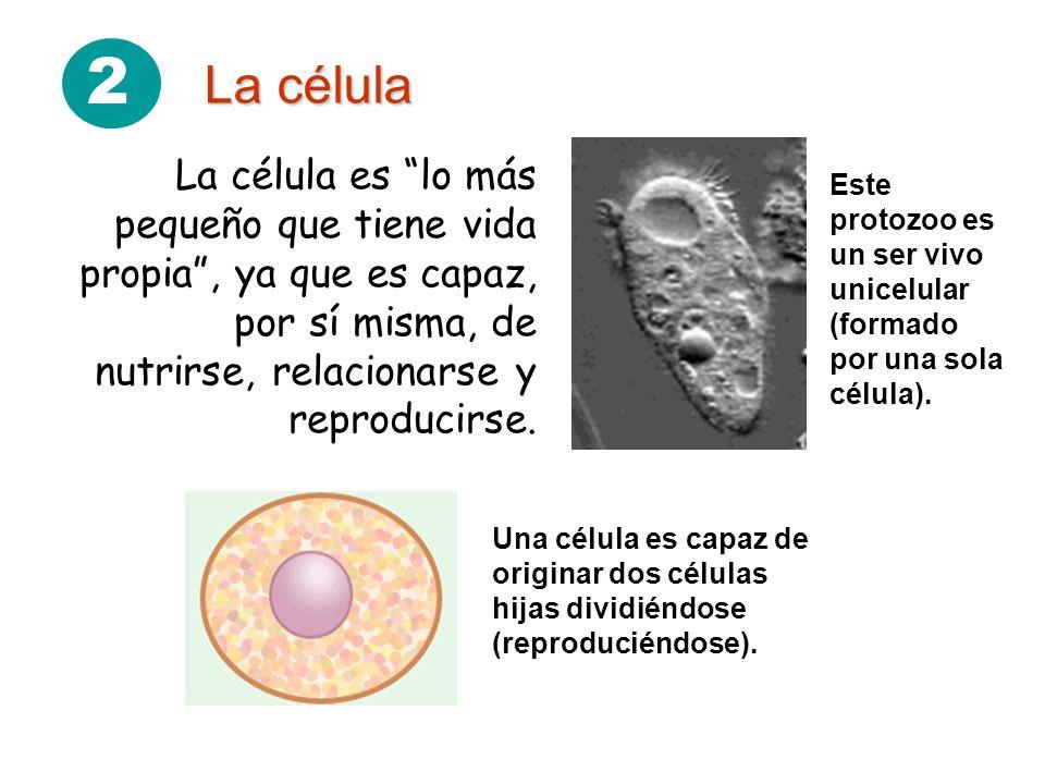 2 La célula. La célula es lo más pequeño que tiene vida propia , ya que es capaz, por sí misma, de nutrirse, relacionarse y reproducirse.