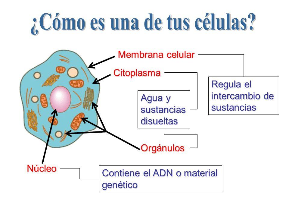 ¿Cómo es una de tus células