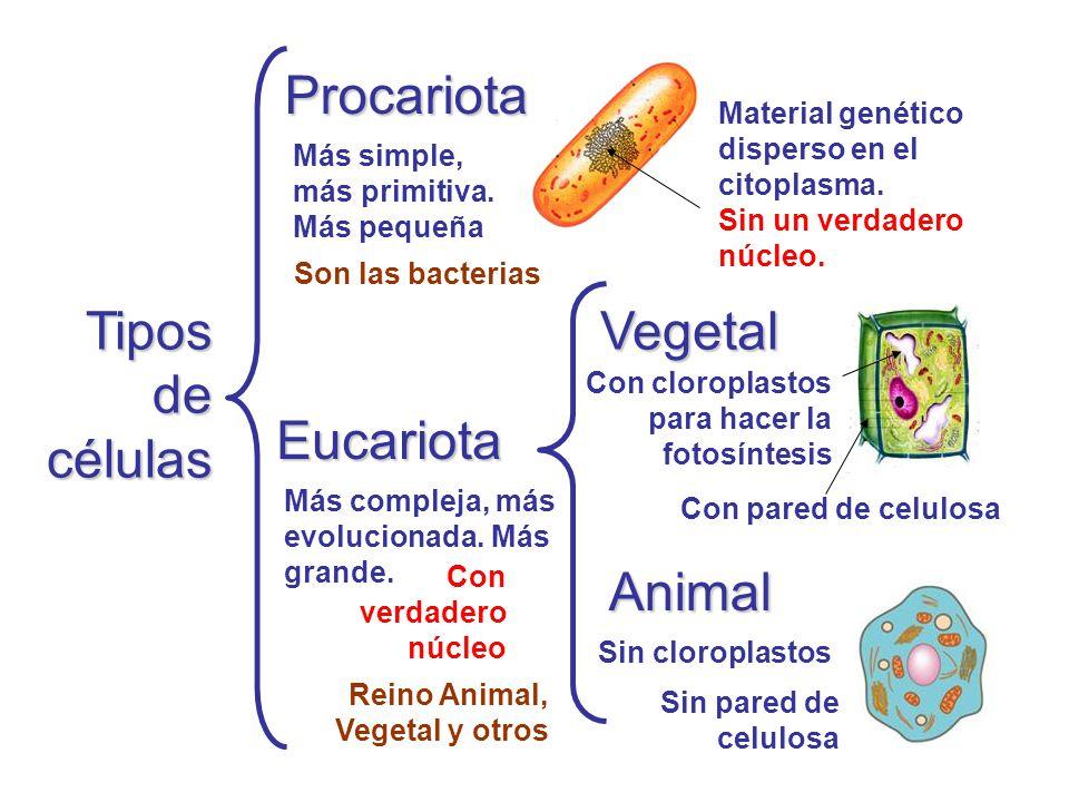 Procariota Tipos de células Vegetal Eucariota Animal