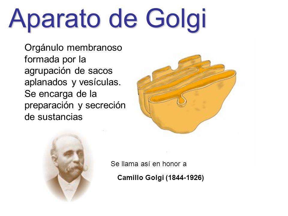 Aparato de Golgi Orgánulo membranoso formada por la agrupación de sacos aplanados y vesículas.