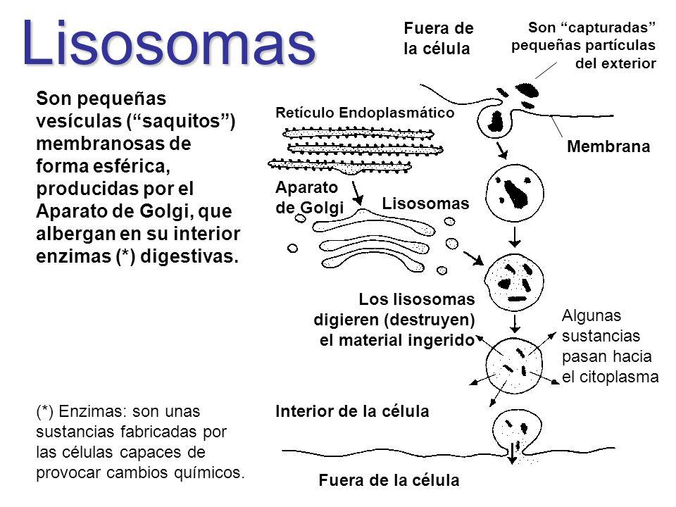 Lisosomas Fuera de la célula. Son capturadas pequeñas partículas del exterior.
