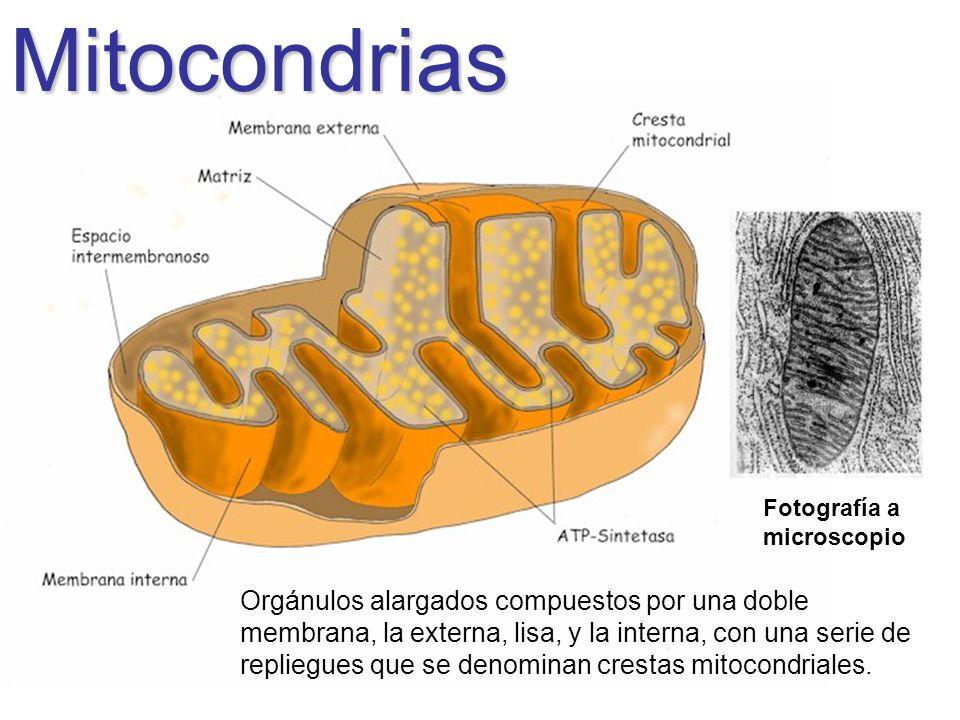 Mitocondrias Fotografía a microscopio.