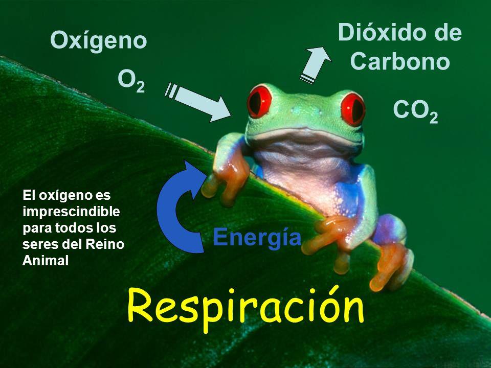 Respiración Dióxido de Carbono Oxígeno O2 CO2 Energía