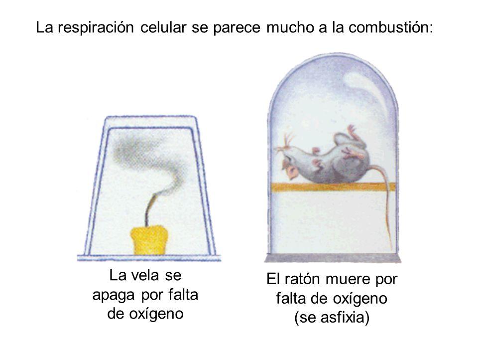 La respiración celular se parece mucho a la combustión: