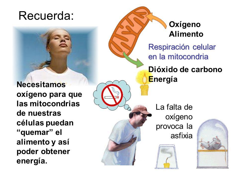 Recuerda: Oxígeno Alimento Respiración celular en la mitocondria