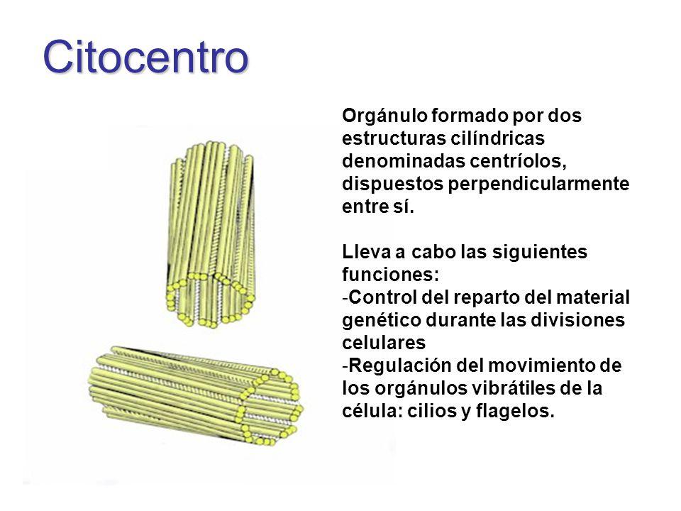 Citocentro Orgánulo formado por dos estructuras cilíndricas denominadas centríolos, dispuestos perpendicularmente entre sí.