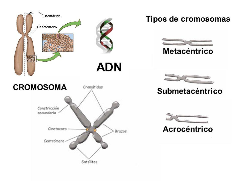 ADN Tipos de cromosomas Metacéntrico CROMOSOMA Submetacéntrico