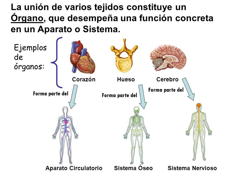 La unión de varios tejidos constituye un Órgano, que desempeña una función concreta en un Aparato o Sistema.
