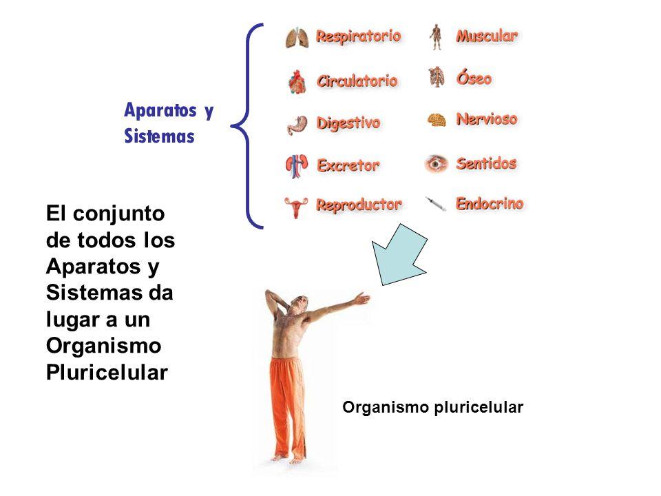 Aparatos y Sistemas El conjunto de todos los Aparatos y Sistemas da lugar a un Organismo Pluricelular.