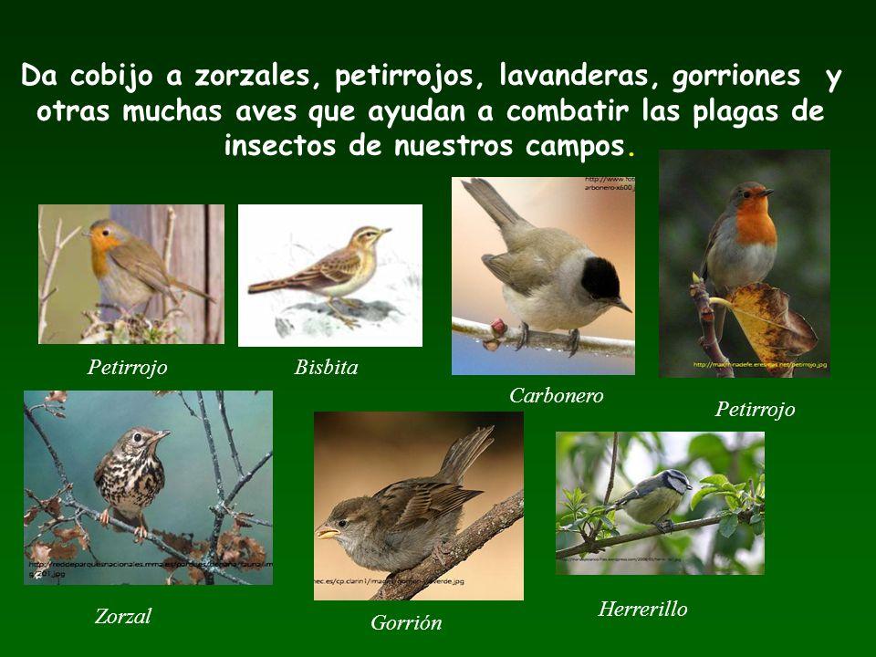 Da cobijo a zorzales, petirrojos, lavanderas, gorriones y otras muchas aves que ayudan a combatir las plagas de insectos de nuestros campos.
