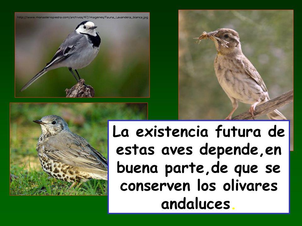 La existencia futura de estas aves depende,en buena parte,de que se conserven los olivares andaluces.