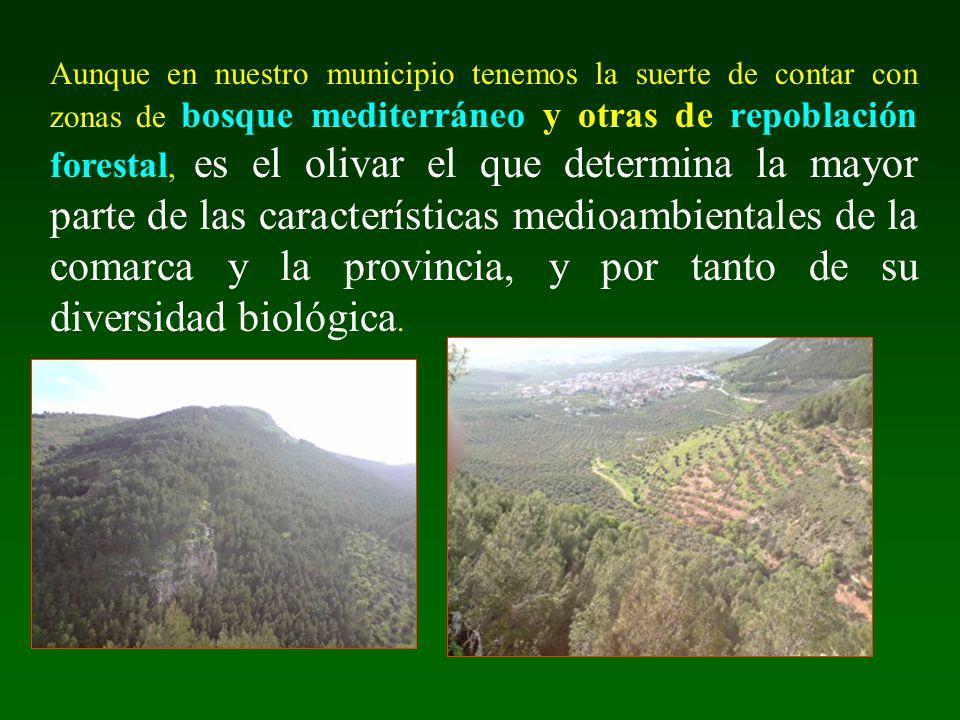 Aunque en nuestro municipio tenemos la suerte de contar con zonas de bosque mediterráneo y otras de repoblación forestal, es el olivar el que determina la mayor parte de las características medioambientales de la comarca y la provincia, y por tanto de su diversidad biológica.