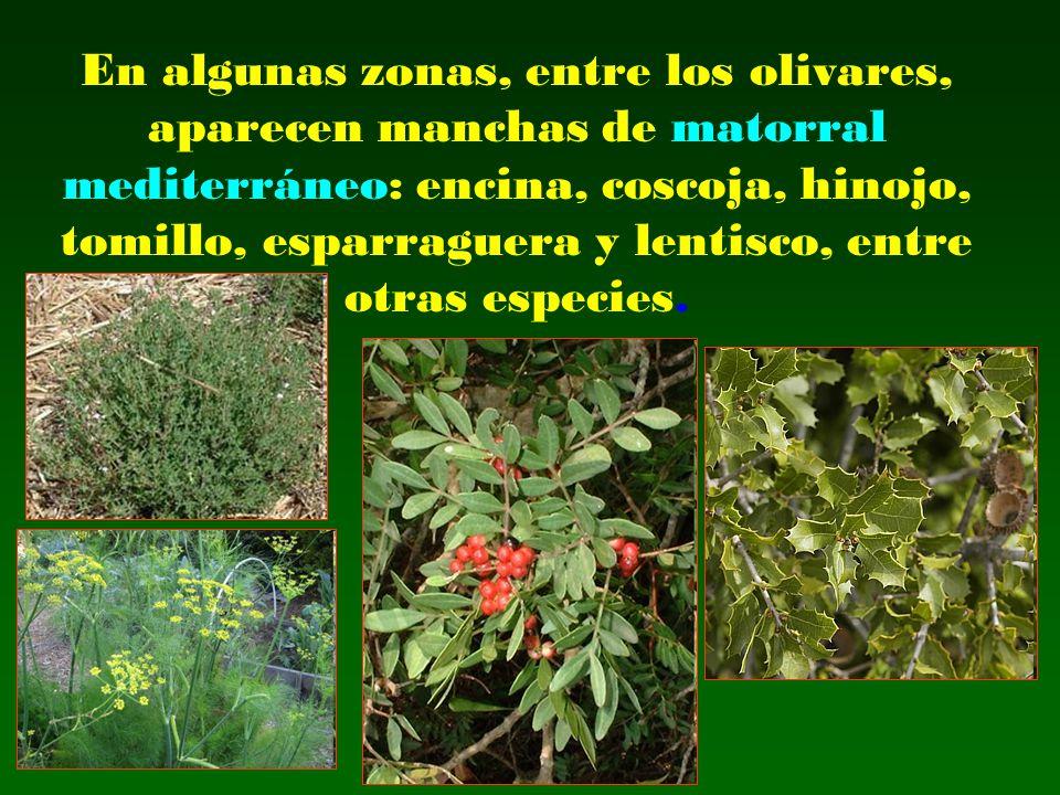 En algunas zonas, entre los olivares, aparecen manchas de matorral mediterráneo: encina, coscoja, hinojo, tomillo, esparraguera y lentisco, entre otras especies.