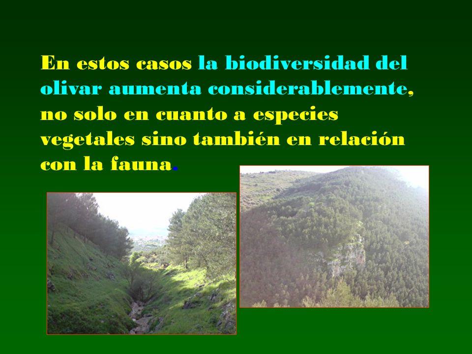En estos casos la biodiversidad del olivar aumenta considerablemente, no solo en cuanto a especies vegetales sino también en relación con la fauna.