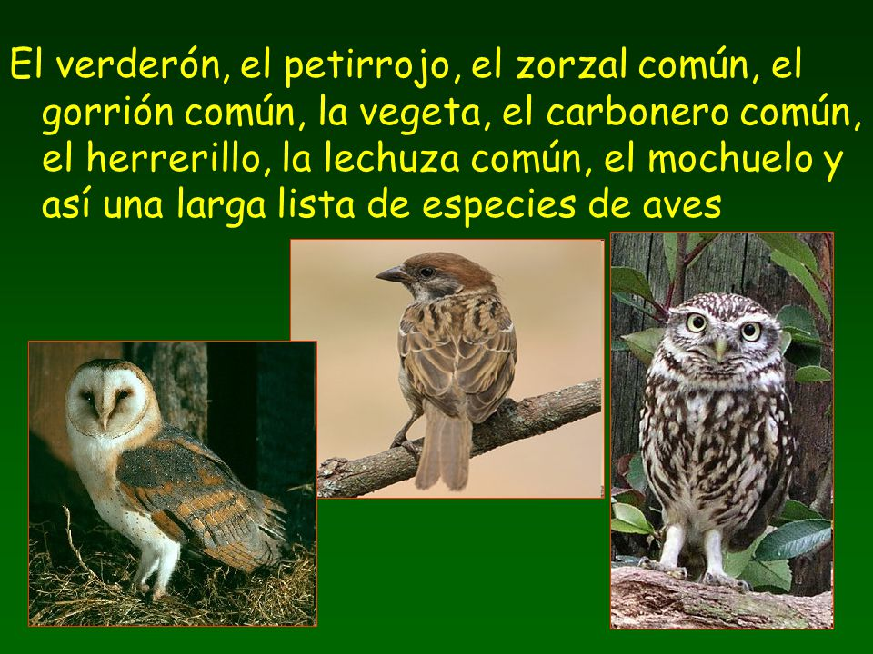 El verderón, el petirrojo, el zorzal común, el gorrión común, la vegeta, el carbonero común, el herrerillo, la lechuza común, el mochuelo y así una larga lista de especies de aves