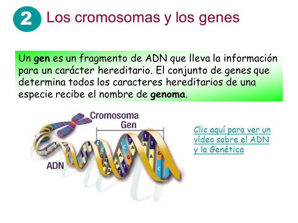 2 Los cromosomas y los genes