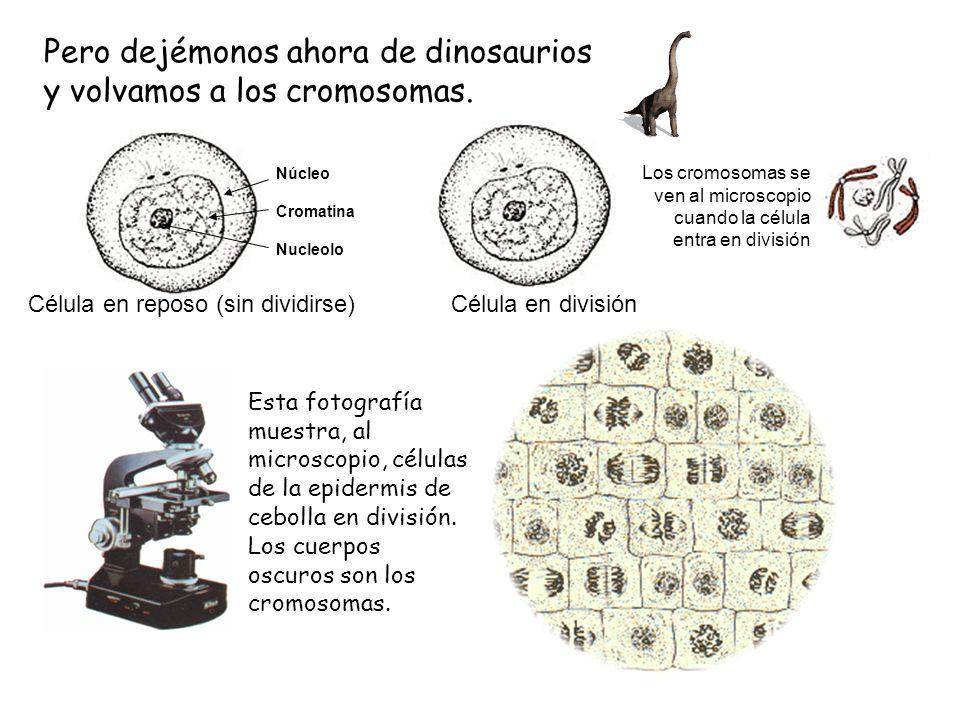 Pero dejémonos ahora de dinosaurios y volvamos a los cromosomas.