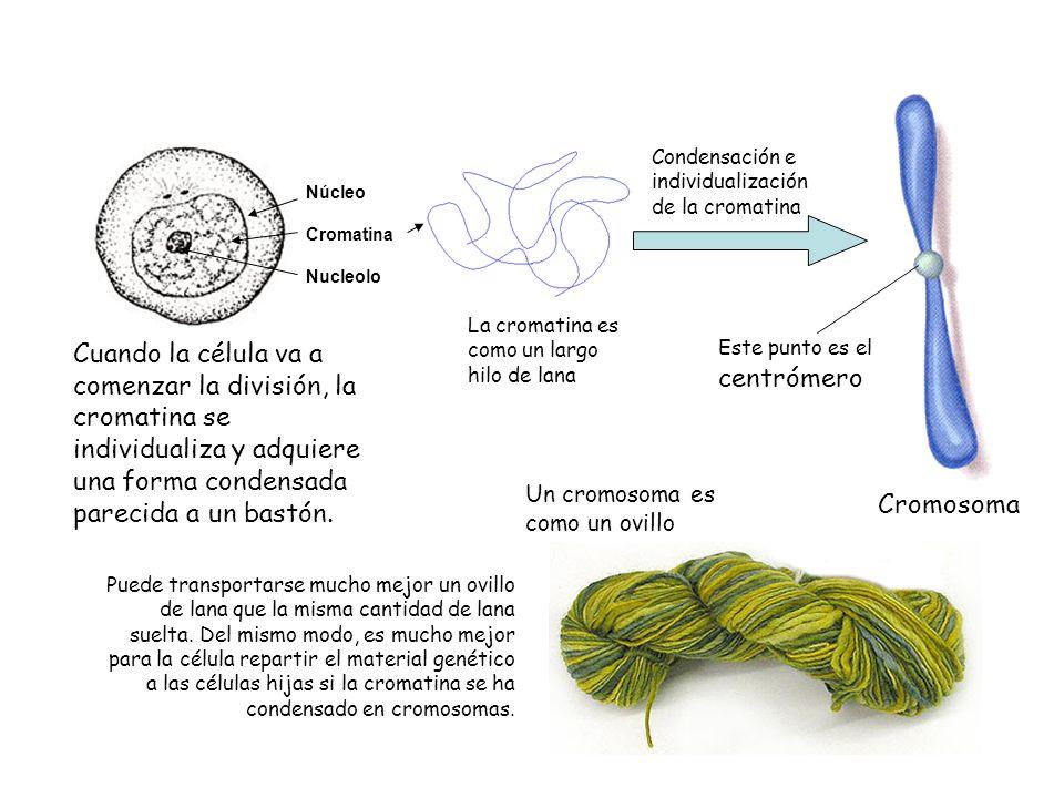 Condensación e individualización de la cromatina
