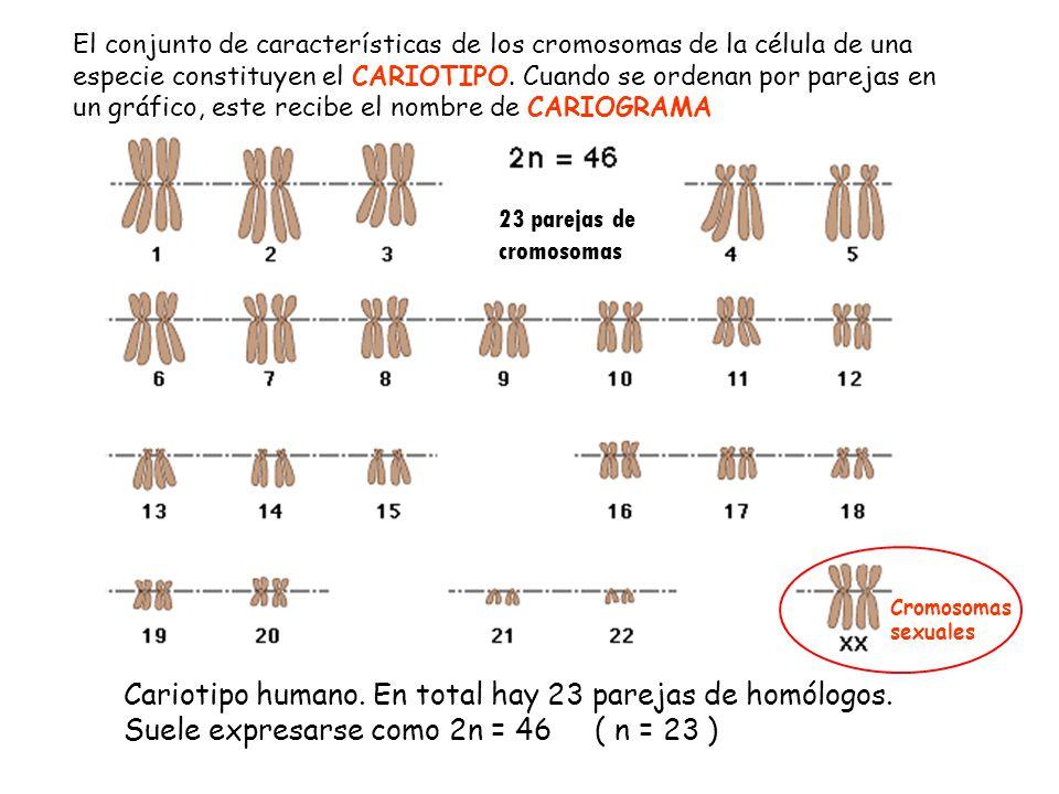 El conjunto de características de los cromosomas de la célula de una especie constituyen el CARIOTIPO. Cuando se ordenan por parejas en un gráfico, este recibe el nombre de CARIOGRAMA