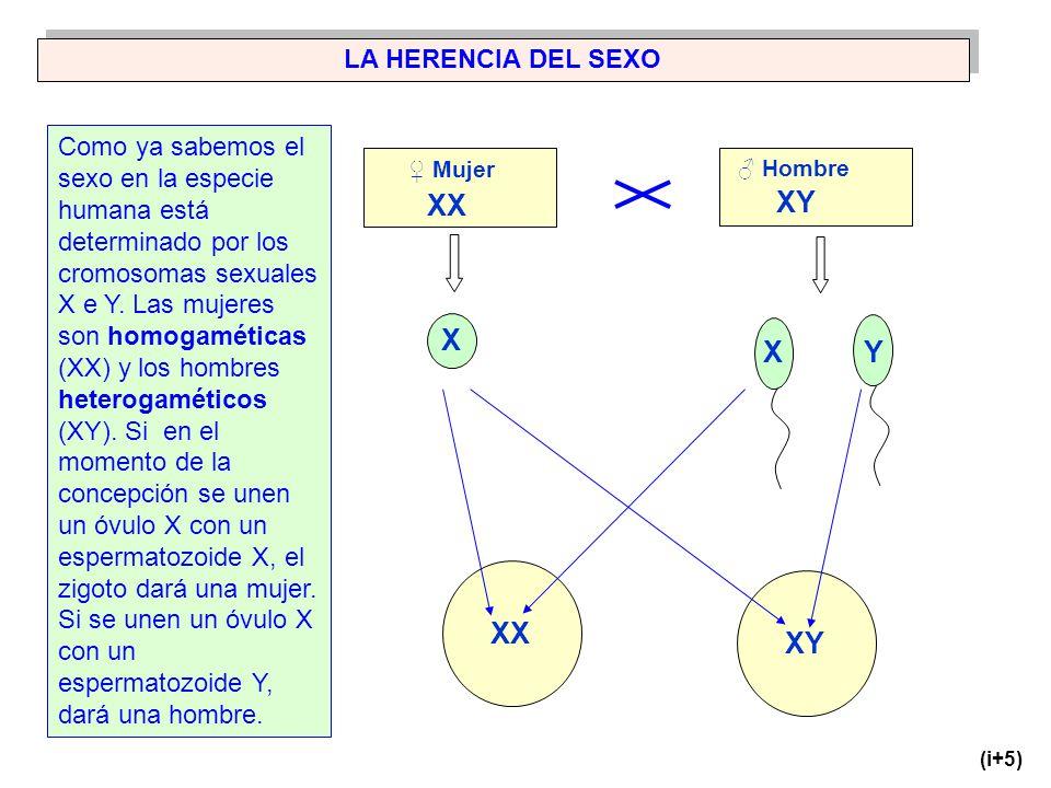 XX XY X X Y XX XY LA HERENCIA DEL SEXO
