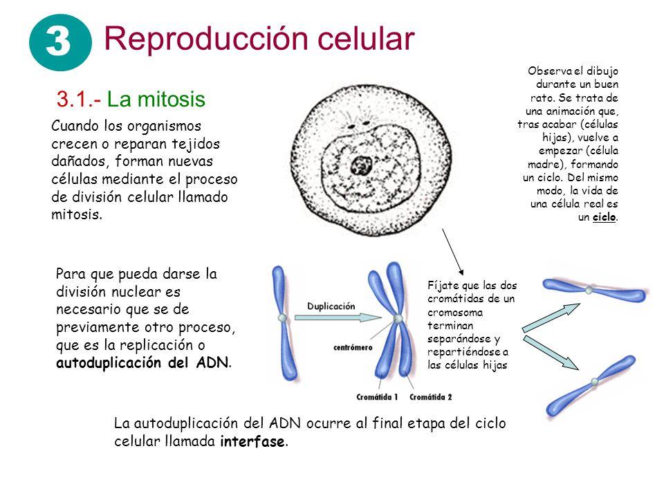 3 Reproducción celular 3.1.- La mitosis