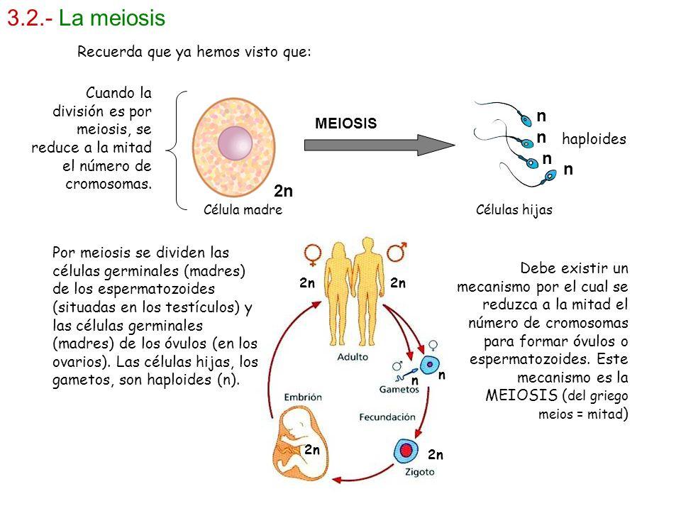 3.2.- La meiosis n n n n 2n Recuerda que ya hemos visto que: