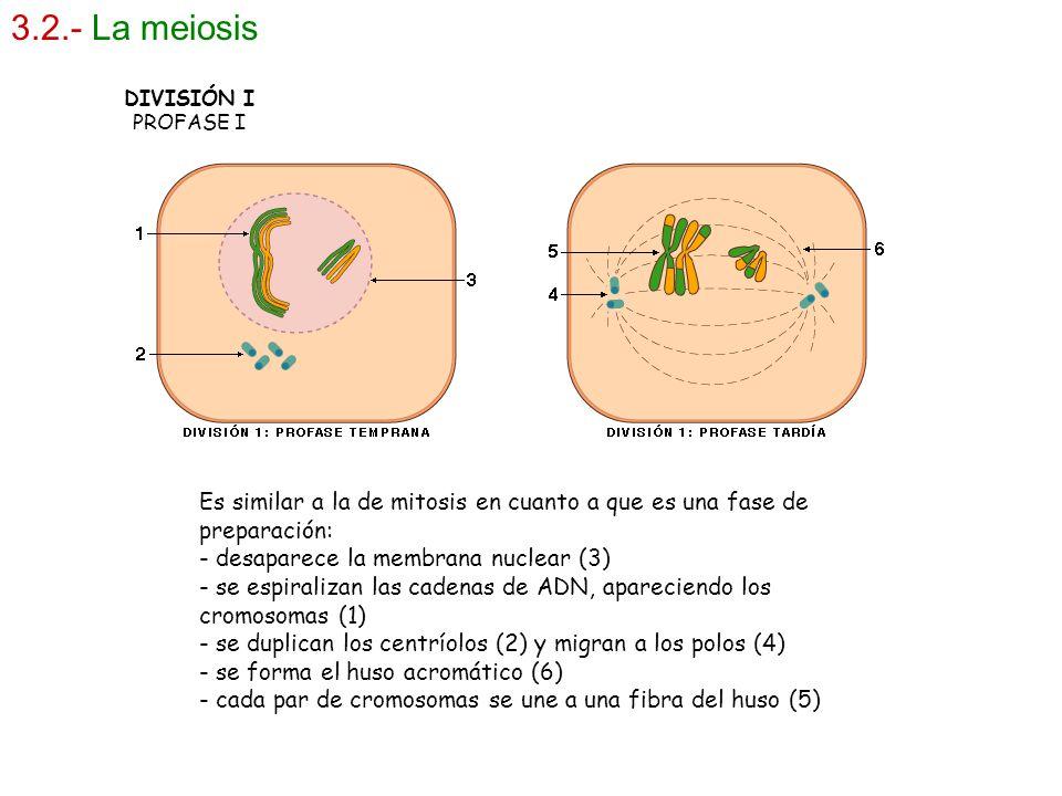 3.2.- La meiosis DIVISIÓN I. PROFASE I. Es similar a la de mitosis en cuanto a que es una fase de preparación: