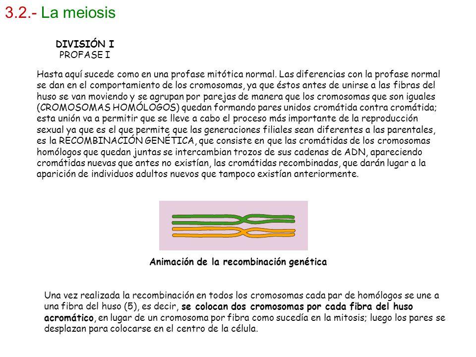 3.2.- La meiosis DIVISIÓN I PROFASE I