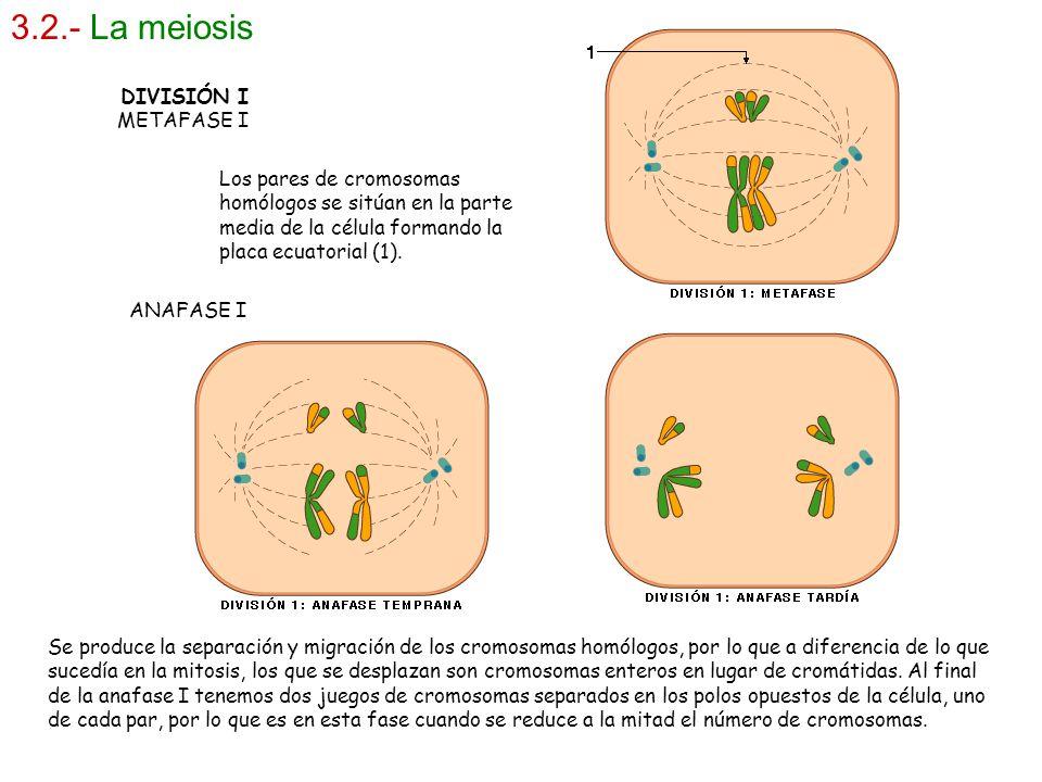 3.2.- La meiosis DIVISIÓN I METAFASE I