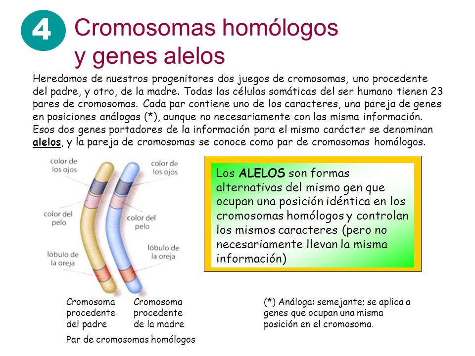 4 Cromosomas homólogos y genes alelos