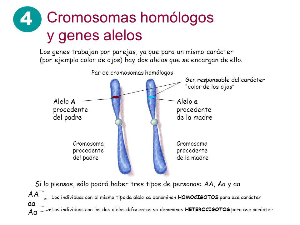 4 Cromosomas homólogos y genes alelos AA aa Aa