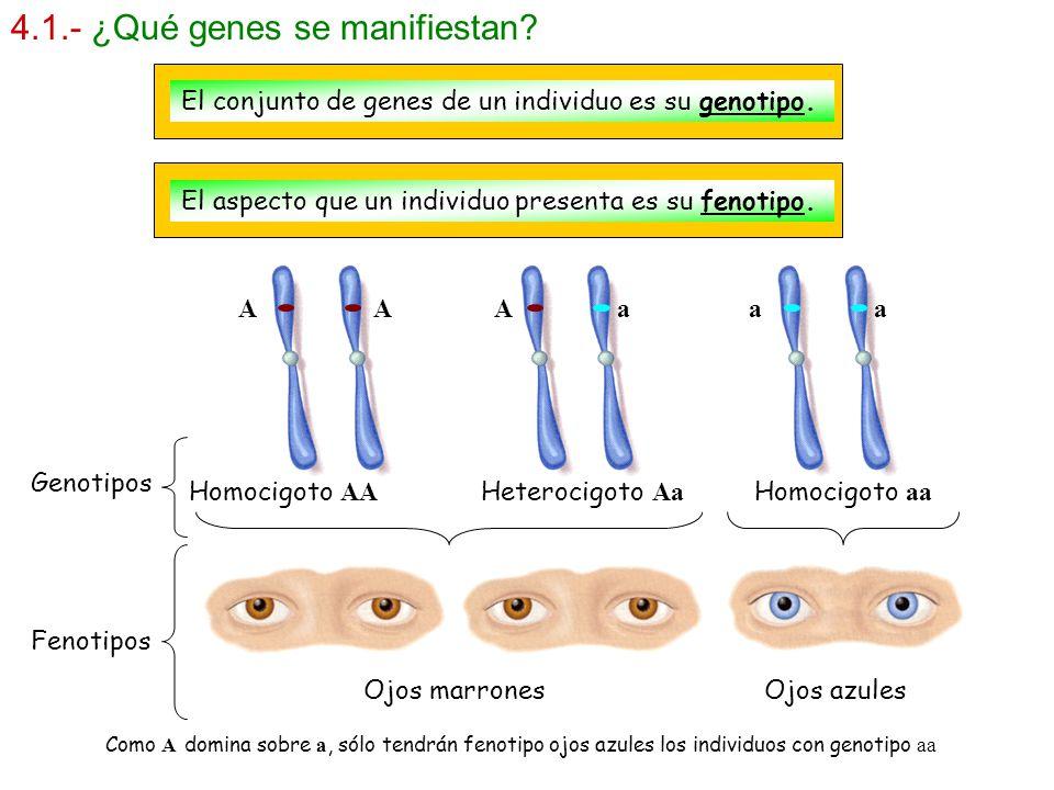 4.1.- ¿Qué genes se manifiestan